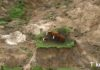 Büyük Deprem Sonrası inekler Mahsur Kaldı!